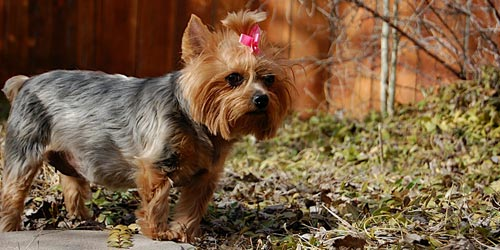 Yorkshire Terrier. Fotos
